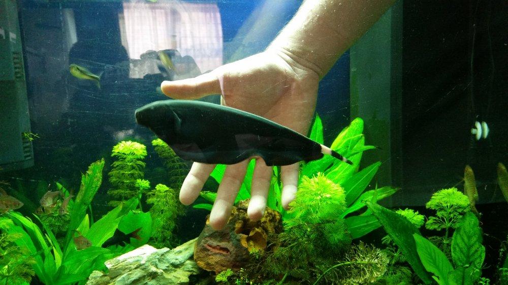 Black ghost knife fisk for sale swop apsa for Black ghost knife fish for sale