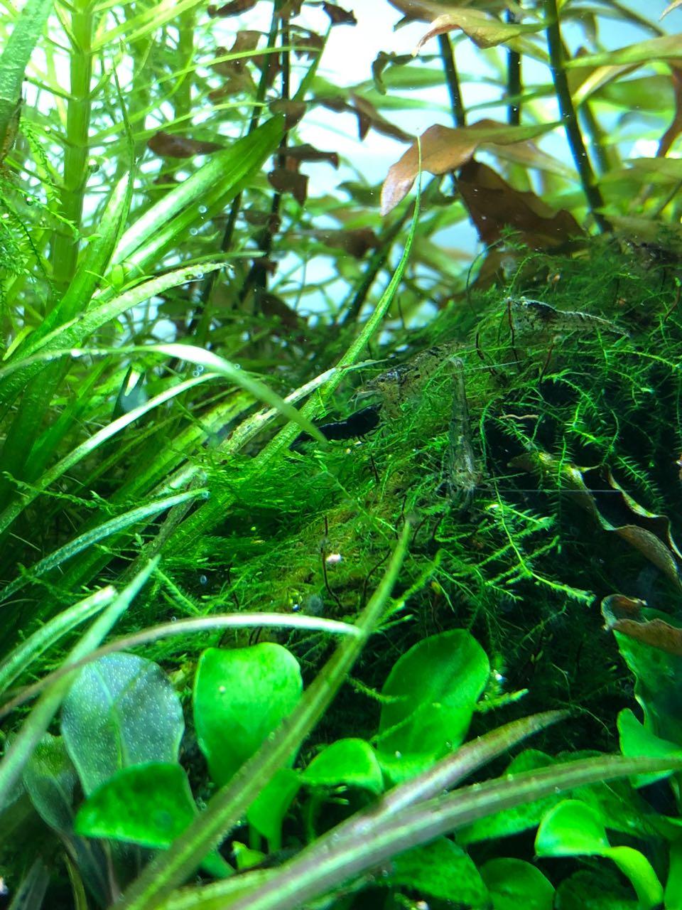 Black shrimp.jpeg