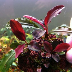 Bucephalandra sp Red Cherry