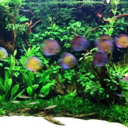 Tom Barr Discus and Angelfish Planted Tank