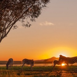 Zebra's at sunset